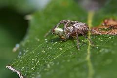 Crab spider with spider prey (Lord V) Tags: macro bug spider crabspider