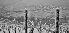 Mosel in the snow (@WineAlchemy1) Tags: ürzigerwürzgarten germany vineyard mosel riesling vines snow snowstorm blackandwhite noiretblanc neroebianco blancoynegro monochrome