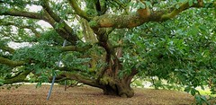 """Turners Oak""...Holm & English Oak Hybrid (standhisround) Tags: trees tree treemendoustuesday fabulousfoliage leaves nature london uk turnersoak kewgardens kew royalbotanicalgardens rbg htmt hff 220yearsold quercusturneri hybrid semideciduous oaktree oak holmxenglish"