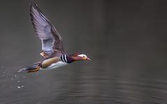 Inflight Mandarin (Glenn.B) Tags: forestofdean gloucestershire nature bird avian duck waterfowl water wildlife wildfowl mandarinduck mandarin cannopponds