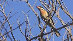 Spiny-cheeked Honeyeater (Rodger1943) Tags: honeyeaters australianbirds spinycheekedhoneyeater sonyrx10m4