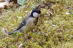 Mrs Tit will surely love our nest!  - II (wolfgang.kynast) Tags: cemetery vögel meise schwarzkopfmeise friedhof