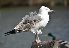 Herring Gull (Eleanor (No multiple invites please)) Tags: bird gull herringgull post water kensingtongardens london nikond7100 march2019