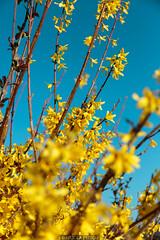Into yellow (Nicola Pezzoli) Tags: val gandino seriana bergamo italia italy nature spring leffe ceride san rocco flowers yellow blue sky