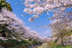 Cherry blossoms (Hiro_A) Tags: sakura flower cherryblossoms sky spring pink tree imabari ehime shikoku japan nikon d7200 sigma 1770 1770mm