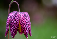Spring is here! (PhilR1000) Tags: flower macro colourful fritillaria nationaltrust westgreenhouse checkaboard pattern purple