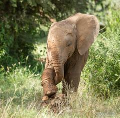 Elephant Calf - Loxodonta (rosebudl1959) Tags: 2019 kenya africanelephant calf samburu elephantbedroomcamp