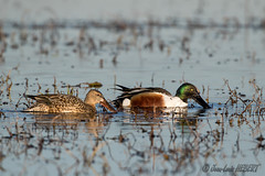 Couple de canards souchet (jean-louis21) Tags: camargue vigueirat canard duck couple étang