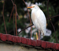 Cattle Egret, Bubulcus ibis (asterisktom) Tags: mexico2019aprilmay mexico chiapas 2019 april tonala bird vogel ave 鸟 птица 鳥 pajaro cattleegret bubulcusibis egret