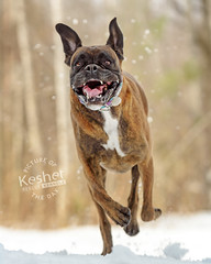 Picture of the Day (Keshet Kennels & Rescue) Tags: adoption dog ottawa ontario canada keshet large breed dogs animal animals pet pets field nature photography snow winter boxer run sprint face happy smile excited speed