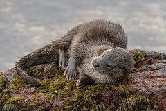 "Otter (cazalegg) Tags: otter scotland mammal wildlife nikon d500 water loch linnhe sea seaweed rocks ""ngc"" ngc nature animal wild scottish"