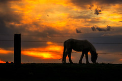 Evening Graze (sdl39hogger) Tags: horse sunset equine canon canont6i springtime wisconsin nationalgeographic