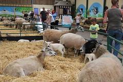 Photo of The Big Sheep's, Sheep