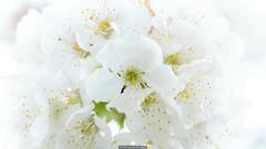 Bouquet (Nicola Pezzoli) Tags: val gandino seriana bergamo italia italy nature spring leffe ceride san rocco macro flowers white
