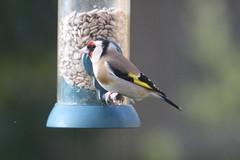 Goldie (roger_forster) Tags: goldfinch cardueliscarduelis feeding feeder garden alverstoke gosport hampshire wild bird hiwwt