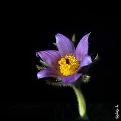 Pulsatilla ... (N.Batkhurel) Tags: season spring flower flora plant mongolia macro ngc nikon nikond5200 natur nikkor 105mm