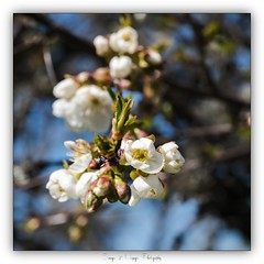 Pb_4150146 (calpha19) Tags: imagesvoyagesphotography olympusomdem1mkii zuiko m60macrof28 adobephotoshoplightroom couleurs printemps 2019 flore fleurs flowers proxy proxyphoto vosges grangessurvologne grandest ngc flickrsexplore