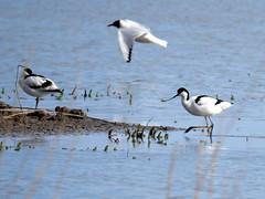 Avocet (and black-headed gulls) (Nevrimski) Tags: avocet wading bird
