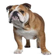 English Bulldog, 18 months old, standing in front of white backg (Daniel0556) Tags: cutout pedigreed whitebackground vertebrate isolatedonwhite vertical nopeople standing dog fulllength copyspace doggy cute frontview canine indoors studioshot adorable pet looking oneanimal portrait pets nature attentive mammal obedient studio englishbulldog domestic bulldog white young domesticanimal younganimal animalthemes wrinkles breed wrinkled lookingatcamera 18monthsold alert purebred tough attitude animal brown pedigree