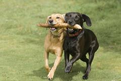101214 Dogs Battle (Daniel0556) Tags: animal black brother brown canine carry cute dog freedom friend friendship fun game happiness joy labrador mongrel pet play pretty race run share sister stick team teamwork