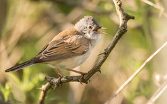 Back to the business (Eric Penet) Tags: grisette fauvette mâle passereau passerine oiseau bird animal sauvage avesnois avril printemps nature nord france faune wildlife wild whitethroat common