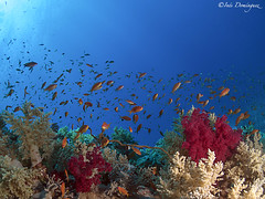 IMG_6234 Escuela. (Inés Domínguez) Tags: anthias underwater underwaterfotography angle redsea nature sea