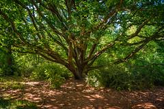 Der Baum - Pfaueninsel (Pixelfinder Berlin) Tags: ausflug baum blumenundpflanzen bã¤ume landschaft natur pfaueninsel sommer tree trees berlin wannsee gruen grün blatt bäume blätter lq landscape