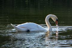 Mute Swan (Ashley Middleton Photography) Tags: cricklade lmf animal bird england europe lowermoorfamnaturereserve muteswan swan unitedkingdom wiltshire cotswoldwaterpark