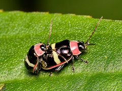 Käfer (Eerika Schulz) Tags: käfer beetle ecuador puyo eerika schulz