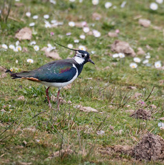 Treading carefully (DavidHowarthAgain) Tags: oldmoor southyorkshire rspb nature april 2019 lapwing vanellusvanellus spring