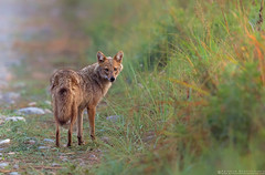 Golden Jackal - Jim Corbett National Park (Arindam.Bhattacharya) Tags: asia corbett india jimcorbett nature wildife goldenjackal indianwildlife jimcorbettnationalpark jimcorbettindia jackal dhikala dhikalacorbett grassland indianmammals mammals wild wildlife photography ngc