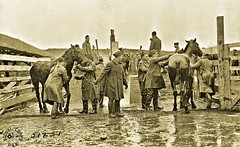 Scraping horses after mange dipping, 5th Field Artillery, Montabaur, Germany 1-22-19 NARA111-SC-51251 (over 16,000,000 views Thanks) Tags: horses mules artillery ww1 worldwari germany 1919 usarmyphotos usarmy