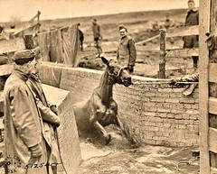 Horse coming out of vat of sulphur lime carbolic acid and creasote at 100 deg.F, Montabaur, German 1-22-19 NARA111-SC-51254 (over 16,000,000 views Thanks) Tags: horses mules artillery ww1 worldwari germany 1919 usarmyphotos usarmy