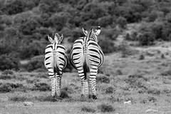(Raphs) Tags: southafrica easterncape addoelephantnationalpark equusquaggaburchellii zebra burchellszebra back two blackandwhite monochrome grassland raphs canoneos70d canonef75300mmf456usmiii fv5