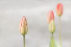 Douceur du printemps - Spring softness (olivier_kassel) Tags: fleurs flowers tulips tulipes macro closeup proxy highkey
