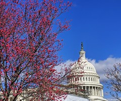 spring buds (ekelly80) Tags: dc washingtondc spring march2019 capitol buds flowers tree pink dome sky