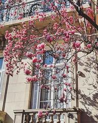 magnolia season (ekelly80) Tags: dc washingtondc spring march2019 dupontcircle window tree pink flowers magnolias