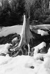 souche dans la neige (JJ_REY) Tags: vosges montagnes mountains hiver winter neige snow bw film rollei superpan200 minolta alf rangefinder
