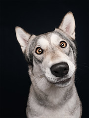 Rake-handle-hit-the-face face (Wieselblitz) Tags: dog dogs dogphotography dogphotographer dogportrait doginthestudio dogsonality pet pets petphotography petportrait petphotographer portrait portraitpet husky wolfhound wolf wolamute cute cuteness cutedog dumbfounded befuddled surprised surprise surpriseddog
