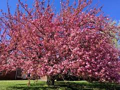 Kwanzan Cherry tree (karma (Karen)) Tags: baltimore maryland neighborhood trees kwanzancherry blossoms htmt springglory iphone topf25 cmwd