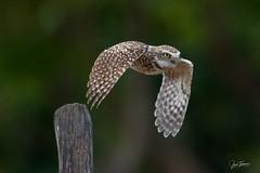 Cucú, Burrowing Owl (Athene cunicularia) (Juan Alberto Taveras) Tags: select cucú athene cun burrowingowl búho dominicanrepublic duvergé republicadominicana juantaverasfotografia flickr