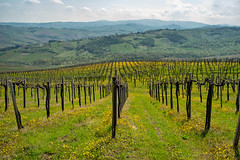 Vineyards of Oltrepo Pavese in April (clodio61) Tags: april europe italy lombardy oltrepopavese pavia agriculture color country day field flower green hill land landscape nature outdoor photography plant rural scenic spring springtime sunny vine vineyard yellow