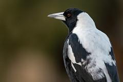 Australian Magpie 2019-04-12 (7D_182A7443) (ajhaysom) Tags: australianmagpie gymnorhinatibicen greenvale melbourne australia australianbirds canoneos7dmkii tamron150600mmf563divcusdg2