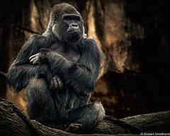 The Master (Robert Streithorst) Tags: alpha cincinnatizoo fur gorilla greatape leader low lowkey male mishindi robertstreithorst silverback zoosofnorthamerica