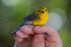 Prothonotary Warbler (stephaniepluscht) Tags: alabama 2019 bird banding band birmingham audubon prothonotary warbler