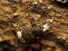 White-Banded Fungus Weevil (treegrow) Tags: rockcreekpark washingtondc nature lifeonearth raynoxdcr250 arthropoda insect coleoptera beetle eurymycterfasciatus anthribidae deadwood