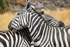 Love Bites (Pavlo Kuzyk) Tags: zebras animals animalkingdom nature safari africa canon
