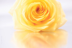 Spring brings new life and new hope. (Theresa Finley) Tags: yellowonwhitehsos macro flower high key nikon d750 reflection smile saturday rose bloom reflective perspective