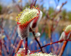 Pussy willows: Signs of spring on Bluebird Estates (peggyhr) Tags: peggyhr pussywillows bokeh red yellow lake green white macro spring dsc07782a bluebirdestates alberta canada photozonelevel1 rainbowofnaturelevel1red thegalaxy thegalaxystars photozonelevel2 damniwishidtakenthat 50faves