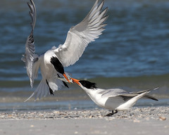 Royal Terns Exchanging the Fish (dbadair) Tags: outdoor nature wildlife 7dm2 ef100400mm canon florida bird
